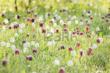 76776105-spring-meadow-with-flowering-fritillaria-meleagris-in-the-morning